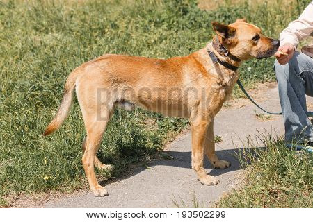 Friendly Female Owner Feeding Cute Brown Dog, Mixed Breed Dog On A Leash Walking In The Park, Animal
