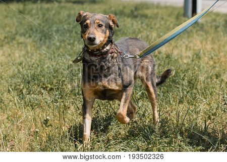 Cute Mongrel Dog With Sad Eyes Running In The Park, While On A Walk With Owner, Animal Shelter Conce