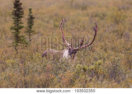 a barren ground caribou bull shedding he is velvet in early fall in Denali National Park Alaska
