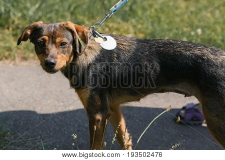 Sad Little Stray Dog Looking At Camera, Cute Brown Mixed Bred Dog Walking On The Road