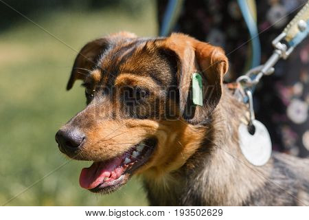 Close-up Of A Brown, Smiling Dog Outdoors, Animal Adoption Center Concept