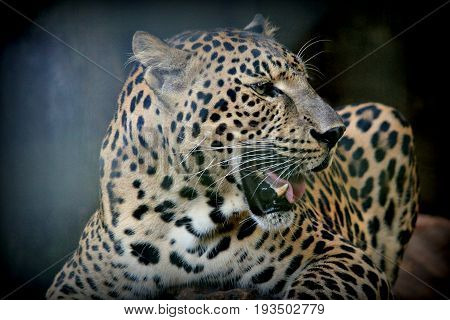 Close up of leopard's head with mouth open Side view, close up of a leopard's head, with fangs showing