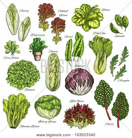 Salads and leafy vegetables sketch icons set. Vector isolated chicory, oakleaf lettuce or sorrel and pak choi, farm garden spinach, radiccio or arugula and chinese cabbage, batavia and iceberg lettuce