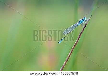 On a stick of a plant there is a goblet-marked damselfly whit dew on the wings