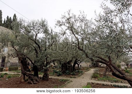 Jerusalem, Israel. - February 15.2017. Gethsemane garden. The place of Jesus Christ's praying on the night of the arrest