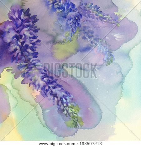 Arctic Lupine. Watercolor illustration, painting, of arctic lupine wild flowers background.
