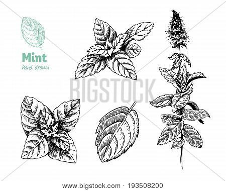 Detailed hand drawn vector illustration of peppermint plant with flowers and leaves.