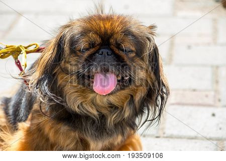 Portrait dog breed Pekingese. Dog showing tongue