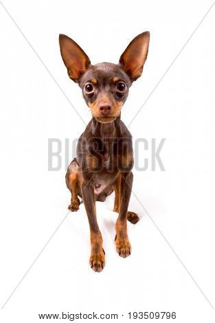 Russian toy terrier portrait over white