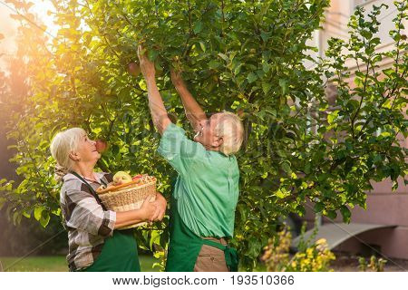 Couple with basket picking apples. Old man and woman outdoor. Useful gardening tips.