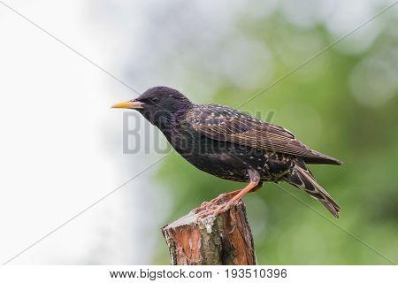 Adult Starling (vulgaris Vulgaris) Perched On Perch