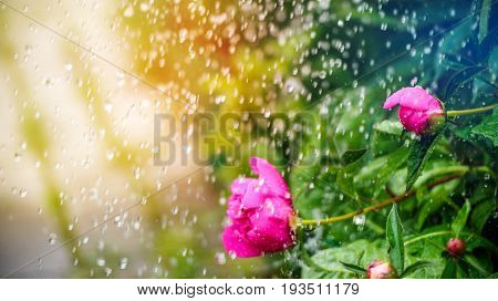 Beautiful summer background with a pion flower in the rain