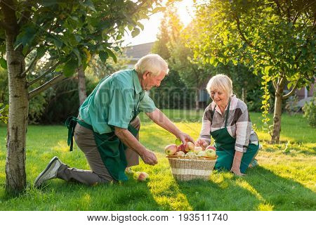 Senior gardeners couple, apple basket. Man and woman on grass. Wise minds and working hands.