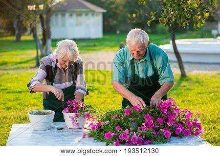 Gardeners transplanting flowers. Petunias on the table.