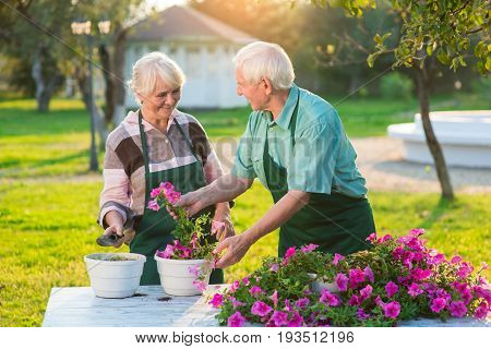 Senior gardeners couple and flowers. Pink petunias on the table. Flower business ideas.