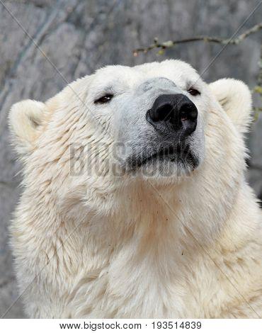 Polar bear portrait. ( Ursus maritimus )