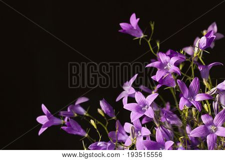 Violet bellflowers in a black background. Free space.