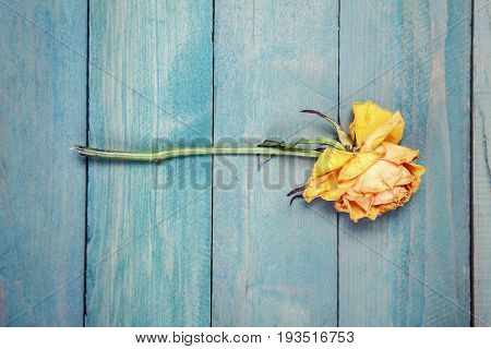 One dried yellow rose on old blue wooden background