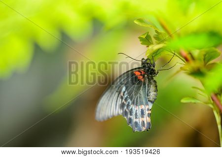 Closeup Great Mormon. Beautiful Butterfly Sitting On Plant