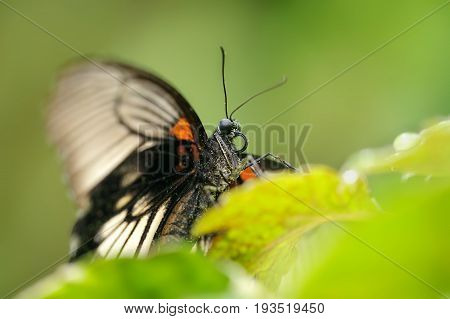 Closeup Detail To  Head Of Great Mormon Butterfly