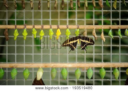Buterfly Coccons With Hatched Butterfly