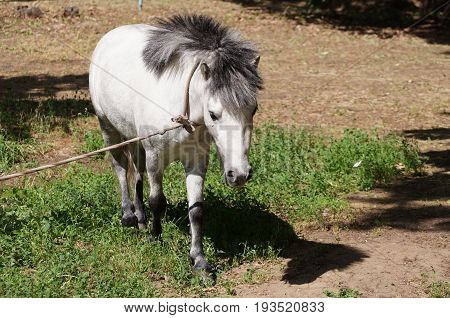 Pony as the representative of fauna is grazed on a lawn on tourist base