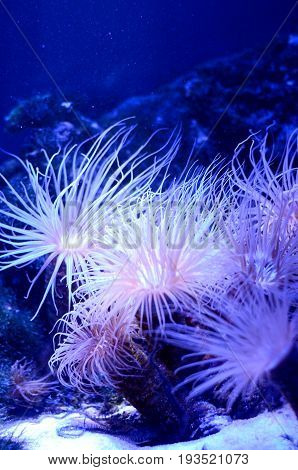 Sea anemone in a dark blue water of aquarium. Marine Life background.