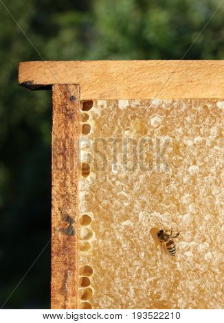 Honeycomb and bee close up image .