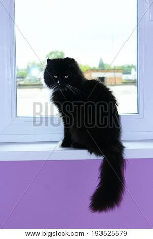 black cat sits on the window-sill with beautiful lilac room