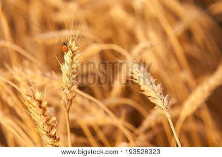 ladybug on the gold ripened wheat closeup. harvest, agriculture, agronomics, food, production, eco concept. empty space for the text.