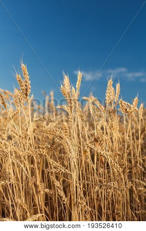 the field of the ripened gold wheat on a blue sky background. harvest, agriculture, agronomics, food, production, eco concept, vertical.