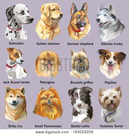 Set of colorful vector portraits of dog breeds (siberian husky border-collie; german shepherd; shiba Inu; golden retriever; Dalmatian jack Russel terrier yorkshire Terrier papillon small pomeranian brussels griffon; Pekingese) isolated on white background