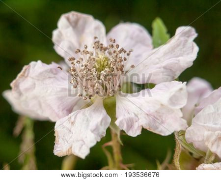 Perfect Detailed Full Petals Of A White And Pink Bramble Flower
