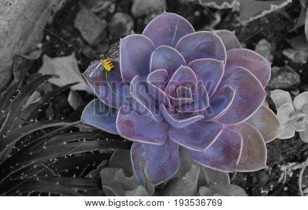 Purple flower succulent with yellow bee perle von nurnberg