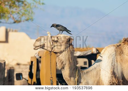 Egypt the Red Sea. Dahab Assala. The colors are blue yellow green red. In the frame is the head of a camel and a crow on its head