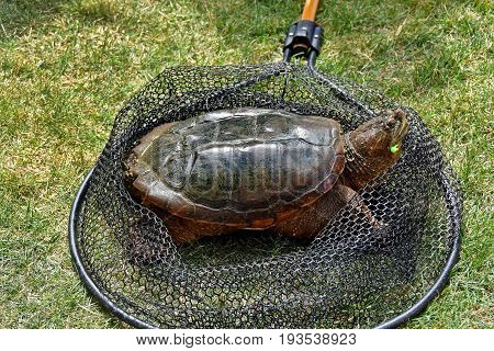 snapping turtle in fishing net on grass with fish hook in mouth