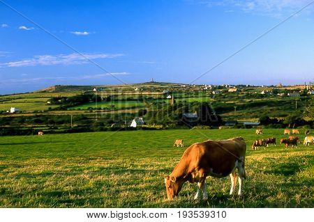 Cows grazing in a field in early evening
