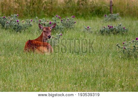 Red deer doe laying up during the heat of the day