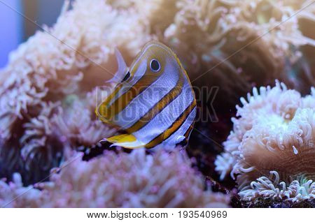 Copperband Butterflyfish, Chelmon rostratus, coral reef fish in among sea anemones in a dark blue water