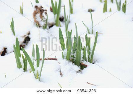 Awakening daffodils in the snow growing flowerbulbs