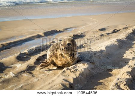 Common seal, harbor seal, lying on the beach sand in the sun, closeup