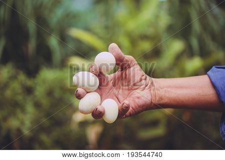 Eggs From Duck Farm In Farmer Hand, Hand Holding Eggs Over Green Background.