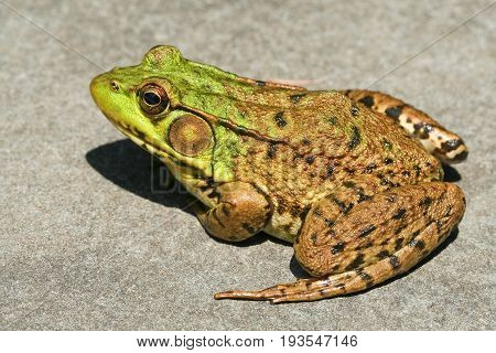 Northern Green Frog is also known as green frog or bronze frog.