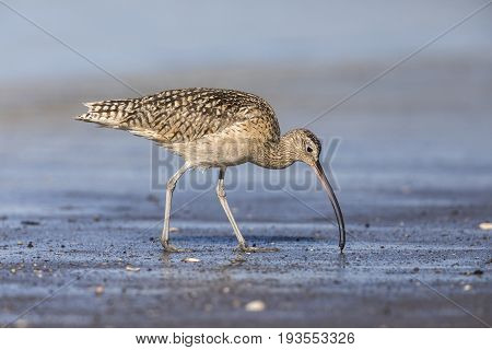 Long-billed Curlew Foraging In A River Estuary - Monterey Peninsula, California