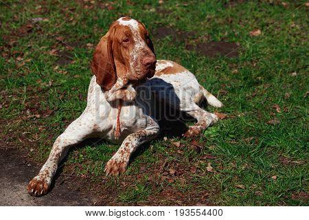 Portrait of dog Bracco Italiano on background green grass
