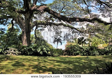 400 year old Saman tree on the Caribbean island of St. Kitts