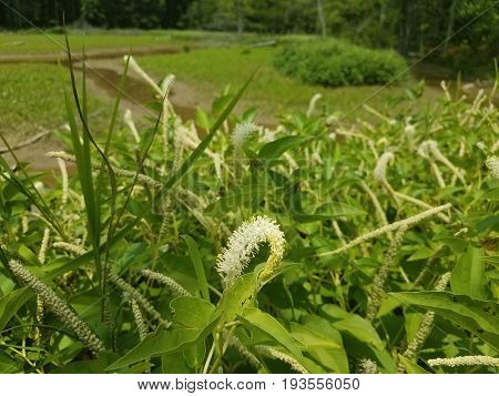 white flower water and mud in wetland area