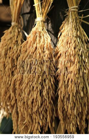Hanging rice in the husks paddy unmilled.