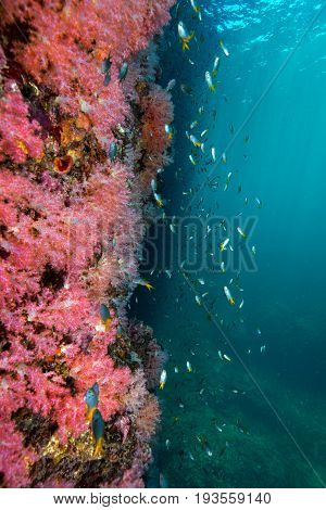 Wall of Colorful soft corals pink color (Dendronephthya sp.) with school of damsel fish Andaman sea Thailand