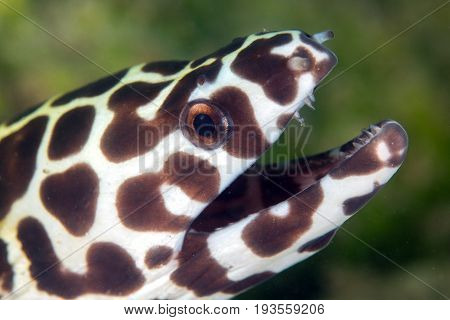 Face of Laced moray (Gymnothorax favagineus) in the coral reefAndaman Sea Thailand
